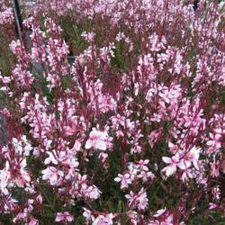 Svíčkovec 'Belleza® Dark Pink' - Gaura lindheimeri 'Belleza® Dark Pink'