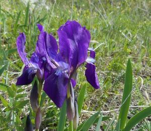 Kosatec bezlistý pravý - Iris aphylla subsp. aphylla