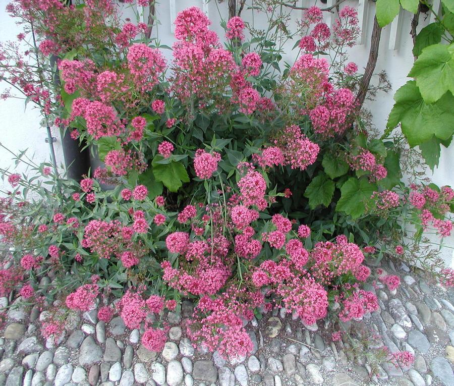 Mavuň 'Rosenrot' - Centranthus ruber var. coccineus 'Rosenrot'