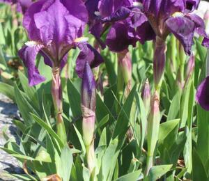 Kosatec nízký pravý - Iris pumila ssp. pumila