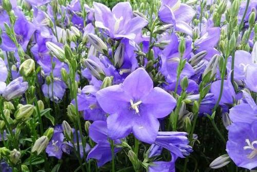 Zvonek broskvolistý 'Takion Blue' - Campanula persicifolia 'Takion Blue'