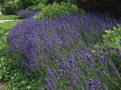 Levandule úzkolistá 'Hidcote Superior' - Lavandula angustifolia 'Hidcote Superior'