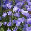 Zvonek lžičkolistý 'Bavaria Blue' - Campanula cochleariifolia 'Bavaria Blue'