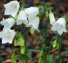 Zvonek lžičkolistý 'Bavaria White' - Campanula cochleariifolia 'Bavaria White'