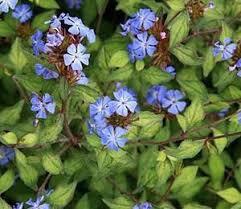 Olověnec 'Autumn Blue' - Ceratostigma plumbaginoides 'Autumn Blue'