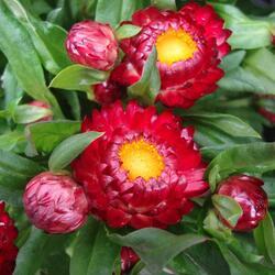 Slaměnka listenatá 'Mohave Dark Red' - Helichrysum bracteatum 'Mohave Dark Red'