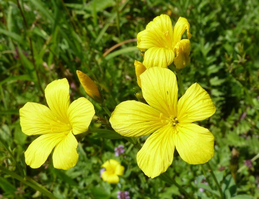 Len žlutý - Linum flavum