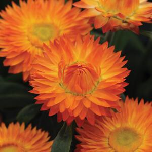 Slaměnka listenatá 'Mohave Orange' - Helichrysum bracteatum 'Mohave Orange'