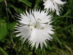 Hvozdík Lumnitzerův - Dianthus lumnitzeri