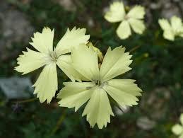 Hvozdík Knapův - Dianthus knappii