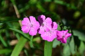 Hvozdík chlumní pravý - Dianthus collinus