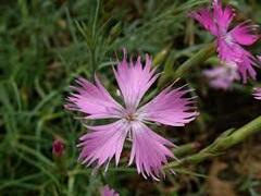 Hvozdík moravský - Dianthus moravicus