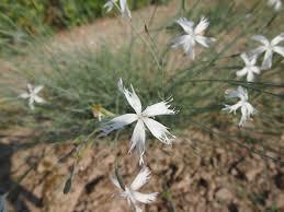 Hvozdík pozdní - Dianthus serotinus