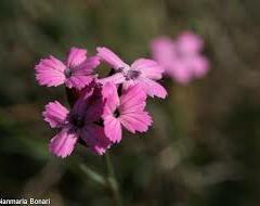 Hvozdík pontederův - Dianthus pontederae