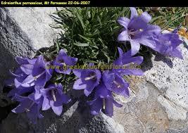 Edraianthus parnassicus - Edraianthus parnassicus