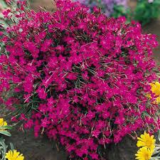 Hvozdík kropenatý - Dianthus deltoides