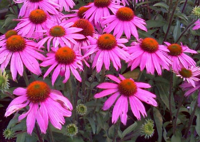 Třapatka nachová 'Verbesserte Leuchtstern' - Echinacea purpurea 'Verbesserte Leuchtstern'