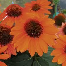 Třapatka nachová 'Papallo Compact Deep Orange' - Echinacea purpurea 'Papallo Compact Deep Orange'
