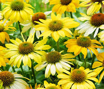 Třapatka nachová 'Mellow Yellows' - Echinacea purpurea 'Mellow Yellows'