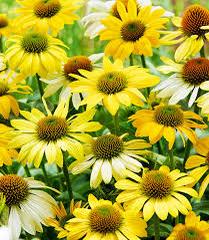 Třapatka nachová 'Mellow Yellows' - Echinacea purpurea 'Mellow Yellows'