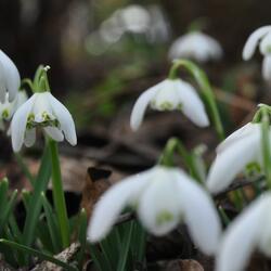 Sněženka podsněžník 'Flore Pleno' - Galanthus nivalis 'Flore Pleno'