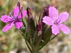 Hvozdík svazčitý - Dianthus armeria