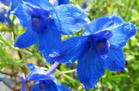 Ostrožka velkokvětá 'Blauer Zwerg' - Delphinium grandiflorum 'Blauer Zwerg'