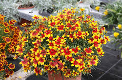Krásnoočko přeslenité 'Corleone Red & Yellow' - Coreopsis verticillata 'Corleone Red & Yellow'