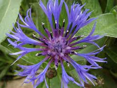 Chrpa chlumní - Centaurea triumfetti