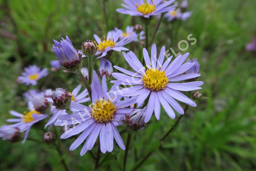 Hvězdnice chlumní 'Silbersee' - Aster amellus 'Silbersee'