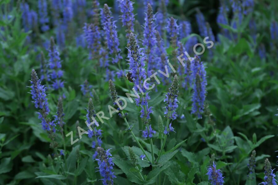 Šalvěj hajní 'Blauhügel' - Salvia nemorosa 'Blauhügel'