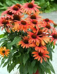 Třapatka nachová 'Julia' - Echinacea purpurea 'Julia'