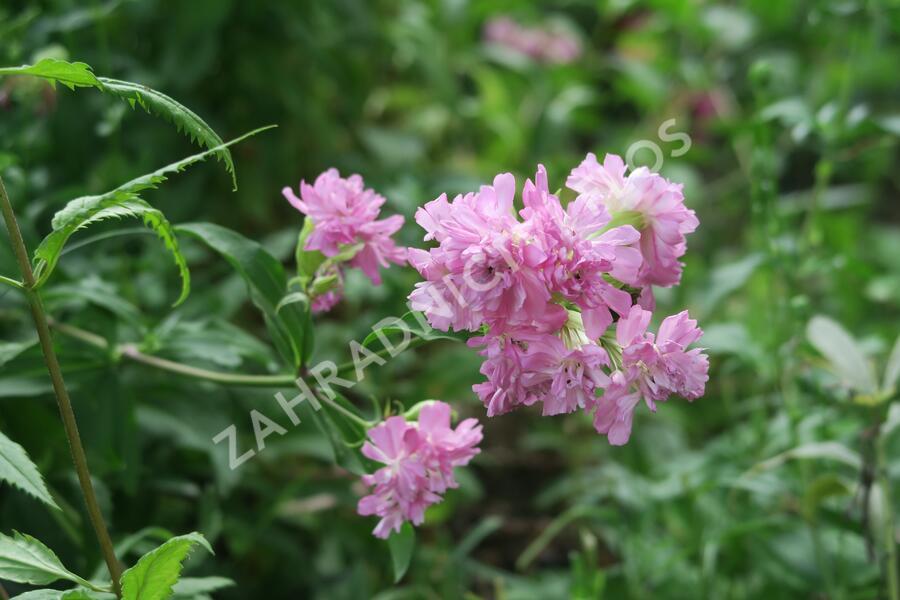 Mydlice lékařská 'Plena' - Saponaria officinalis 'Plena'
