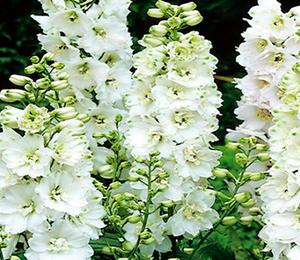 Ostrožka 'Pure White' - Delphinium Magic Fountain 'Pure White'