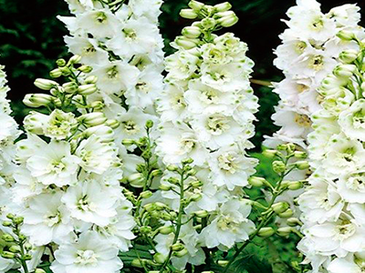 Ostrožka 'Pure White' - Delphinium Magic Fountain 'Pure White'