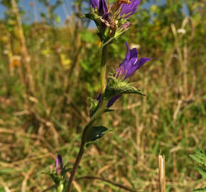 Zvonek klubkatý pomoučený - Campanula glomerata ssp. farinosa