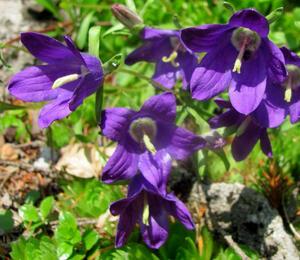 Zvonek chudobkolistý - Campanula bellidifolia