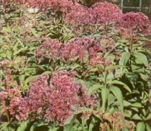 Sadec nachový - Eupatorium purpureum