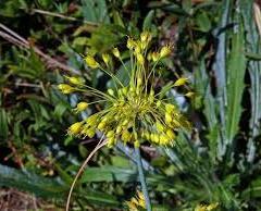 Česnek žlutý - Allium flavum