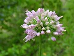 Česnek hranatý - Allium angulosum