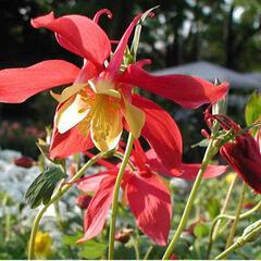 Orlíček 'Rotstern' - Aquilegia caerulea 'Rotstern'