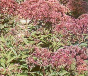 Sadec skvrnitý 'Atropurpureum' - Eupatorium maculatum 'Atropurpureum'