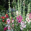 Topolovka růžová 'Simplex' - Alcea rosea 'Simplex'