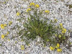 Úročník bolhoj mnoholistý - Anthyllis vulneraria ssp.polyphylla