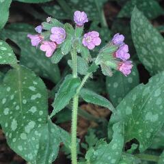 Plicník lékařský - Pulmonaria officinalis