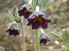 Koniklec - Pulsatilla pratensis ssp. bohemica