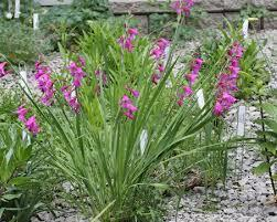 Mečík ilyrský - Gladiolus illyricus