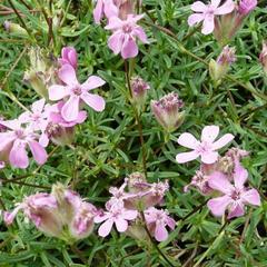 Mydlice trsnatá - Saponaria caespitosa