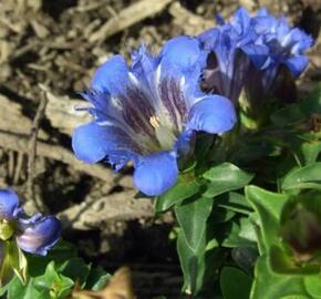 Hořec sedmiklasný 'Select' - Gentiana septemfida var. lagodechiana 'Select'