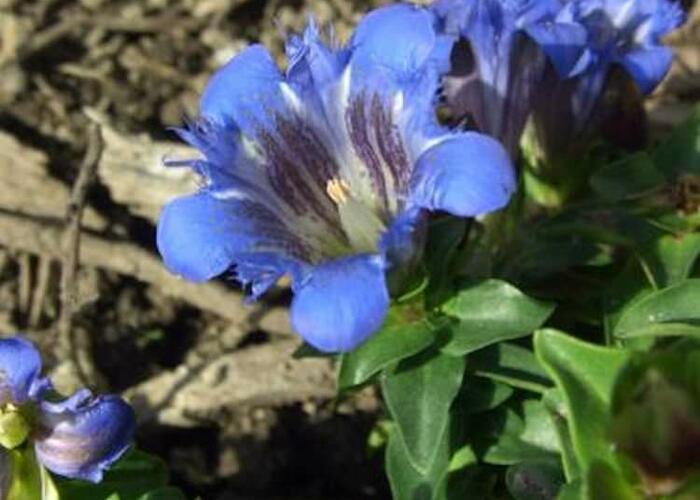 Hořec 'Select' - Gentiana septemfida var. lagodechiana 'Select'